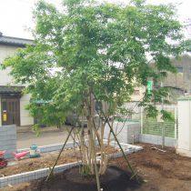 アオダモ植栽